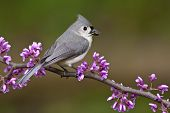 Tufted Titmouse On Redbud