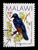 Malawi - Circa 1987: A 7-tambala Stamp Printed In Malawi Shows Waller's Chestnut-wing Starling, Onyc