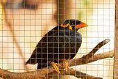 Closeup of black speaker bird in cage