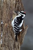 Male Hairy Woodpecker (Picoides villosus)