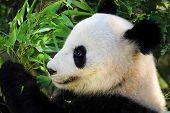 Giant Panda Close-up. Panda Eating Shoots Of Bamboo. Photo From Animal World. Rare And Endangered Bl poster