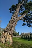 Cedar Tree, Dartington Hall