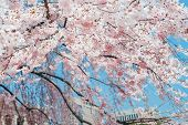 Pink Sakura For Decoration Design. Colorful Spring Landscape. Nature Bright Background. Wild Flowers poster