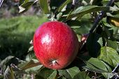Red Apple Growing In An Orchard