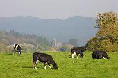 Herd Of Fresian Cows