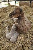 Baby Arabian Camel