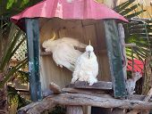 pic of palm cockatoo  - Two Sulphur Crested Cockatoos Resting in a hut - JPG