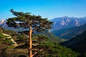 Pine tree in Seoraksan National Park, South Korea poster
