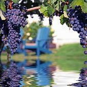 Merlot Grapes In Vineyard Reflecting In Water
