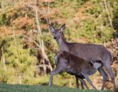 Deer nursing fawn