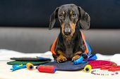Adorable Dog Breed Of Dachshund, Black And Tan, In Body Measuring Ruler Sewing Tailor Tape Measure,  poster