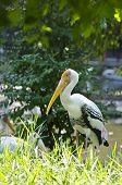 Painted Stork(mycteria Leucocephala)