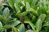 Bay leaf texture