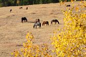 Horses Grazing, Nicola Valley, British Columbia