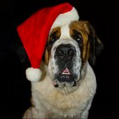 Saint Bernard in a Santa Hat