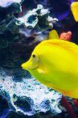 Zebrasoma Fish Floating Underwater
