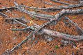 Pine Tree Roots