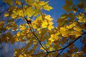 vista de hojas de arce
