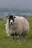 Sheep Standing