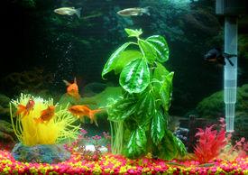 image of fresh water fish  - a colourful aquarium - JPG