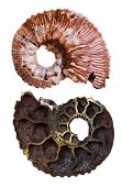 Two Sides Of Mineral Fossil Ammonite Shell