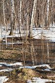 Snow Melting In Birch Forest