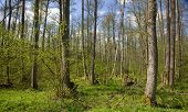 Deciduous Stand Of Bialowieza Forest Natural Forest Reserve At Sunnny Springtime Day