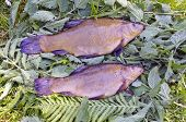 Two Fresh Tench After Fishing On Nettle Grass
