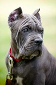 adorable blue cane corso puppy