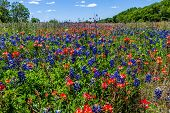 stock photo of bluebonnets  - A Beautiful Texas Field Blanketed with the Famous Bright Blue Texas Bluebonnet (Lupinus texensis) and Bright Orange Indian Paintbrush (Castilleja foliolosa) Wildflowers.