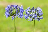 A pair of Agapanthus lilies shallow depth of field, green background