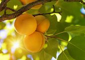 foto of plum fruit  - Peach tree with fruits growing in the garden - JPG