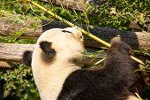 Cute Giant Panda Eating Some Bamboo