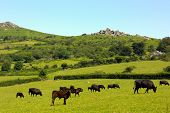 Tiere und Tors in der Dartmoor-Nationalpark-Devon