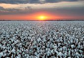 Cotton Field At Sunset