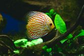 Orange Discus Fish In Aquarium