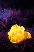Rose Flower Over Soft Feather Purple Background poster