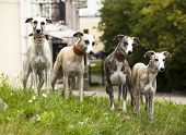 picture of greyhounds  - dog breeds whippet - JPG