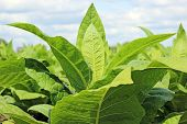 growing tobacco in Poland