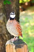 Northern Bobwhite (Colinus virginianus), also called quick frozen quail, found in Oklahoma
