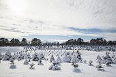 Tree Farm in Winter
