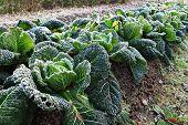 Savoycabbage