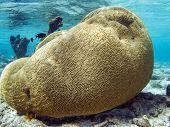 Brain Coral,coral, Faviidae