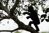 Bonobo On A Tree Branch.