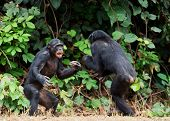 foto of chimp  - Fighting Bonobos  - JPG