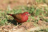 Male Red-billed Firefinch (lagonosticta Senegala)