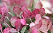 foto of hydrangea  - Pink hydrangea close up under the sun - JPG