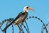 Western Red-billed Hornbill On Razor Wire