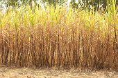 Sugarcane Plantation.
