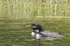image of loon  - A male and female Common Loon swimming on a small pond - JPG